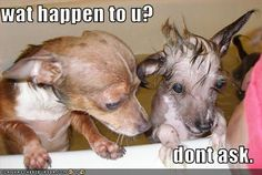 I Has A Hotdog - chihuahua - page 29 - chihuahua Chihuahua Breeds, Chihuahua Love, Chihuahuas, Baby Animals, Funny Animals, Cute Animals, Animal Babies, Kittens And Puppies, Cats And Kittens