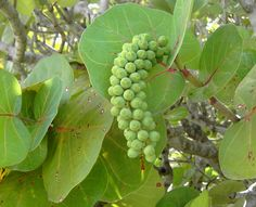 Sea Grape Tree - These grow along the beaches in Key West and the Florida Keys. A plant 'volunteered' in my Key West garden.