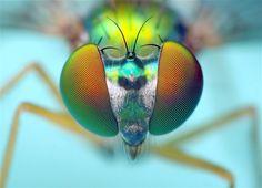Image: Long-legged fly (© Thomas Shahan photography)