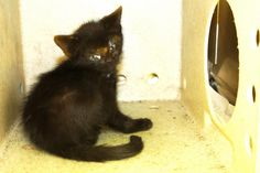 2 KITTENS -URGENT -MUST FIND PICKUP BY 8:00 P.M. 08/27/14 What a pair of handsome boys! Introducing Mitch (A23592103) and Jeff (A23592098); Mitch is a black domestic shorthaired cat, while Jeff is a pretty orange cat. These brothers are the best bond around! They're between 2-6 months and are very mellow for their age.Philly ACCTshelter.(267)-385-3800/email lifesaving@acctphilly.org 111 W Hunting Park Ave www.acctphilly.org