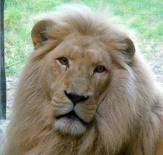 South African Lion, Bratislava Zoo, Slovakia