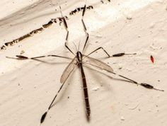 By Leslie Mertz That inch-long, gangly-legged insect that sneaks into your house and bounces around the walls and ceiling is a crane fly, and despite rumors to the contrary, it is neither a predato…
