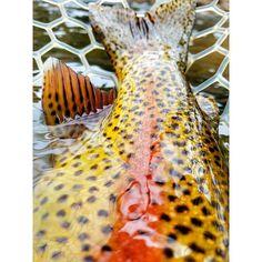 Fishing Photography, Gone Fishing, Trout, Giraffe, Instagram Posts, Game, Felt Giraffe, Brown Trout, Giraffes