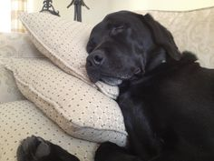 """This is SO our lab! LOL He's decided lately that mom & dad are now """"his"""" sleep number bed. He sets ours then puts his on """"2"""" LOL"""