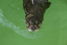 The awesome Otter Shark!