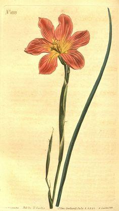Curtis's botanical magazine.. London ;New York [etc.] :Academic Press [etc.]. biodiversitylibrary.org/page/472134