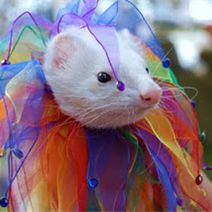 Want a pet Ferret? Come see what they're all about on Pedegru!