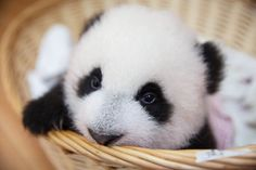 """ITV viewers CANCEL New Year's Eve partying for Panda Babies - - ITV nearly shut down the Internet after viewers react to """"adorable"""" and """"cute"""" baby pandas. Don't take our word for it, read these former NYE party goers. Baby Panda Pictures, Bear Pictures, Animal Pictures, Cute Pictures, Panda Love, Cute Panda, Panda Panda, Kung Fu Panda, Baby Panda Bears"""