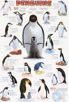A great poster of thoselittle tuxedo-wearing Arctic birds - Penguins! Perfect for classrooms and Eskimos! Fully licensed. Ships fast. 24x36 inches. Need Poster