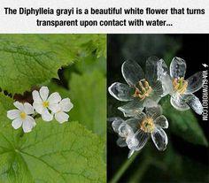 The Diphylleia Grayi