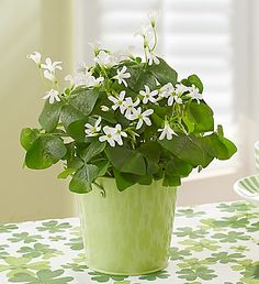 Patrick's Day flowers, plants & gifts help celebrate the luck of the Irish. Send St Patty's decorations from festive green flowers to shamrock cookies! Garden Trees, Garden Plants, Indoor Plants, Indoor Herbs, Flower Coupons, Shamrock Plant, Balloon Flowers, Landscaping Supplies, Green Flowers