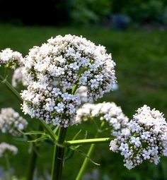 Valerian smell so sweet that I can't stop weeding lest I leave its fragrant cloud. One of the joys of late May!