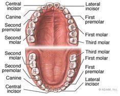 Protésico Dental, Dental Life, Dental Facts, Dental Humor, Dental Assistant Study, Dental Hygiene Student, Dental Hygienist, Dental Implants, Implant Dentistry