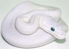 A Blue-Eyed Leucistic Ball Python