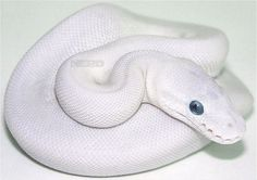 A Blue-Eyed Leucistic Ball Python -I produced my first of these this season! :D