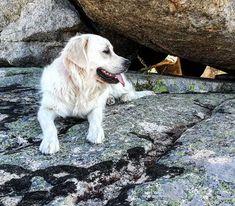 Compañera de paseos. #goldenretriever #golden #goldens #retriever #goldenretrievers #goldenretrieverclub #goldenlove #goldenretrieverworld #photographylife #photographer #photograph #mascota #perro #dog #dogs #doglover #doglovers #perros Life Photography, Dog Lovers, Labrador Retriever, World, Instagram, Animals, Walks, Vacations, Naturaleza