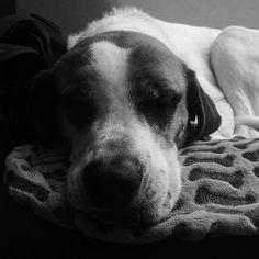 2.24 Office buddy.  #blackandwhite #vscocam #365project #dogsofinstagram #dogstagram #buzz #dog #shelterdog by shaneadams