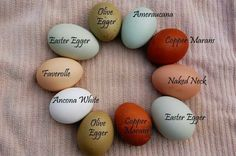 Colored eggs laid by various types of chickens