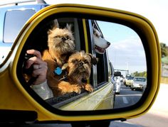 A whole page of cute Brussels Griffon pictures!