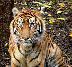 Mother Binjai - Sumatran Tiger - http://www.1pic4u.com/blog/2014/10/27/mother-binjai-sumatran-tiger-2/