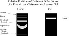 Molecular Biology: Enquiries on uncut plasmid, ampicillin resistance, plasmid dna