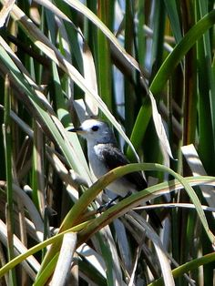 Foto freirinha (Arundinicola leucocephala) por Marcelo De Barros Pimentel
