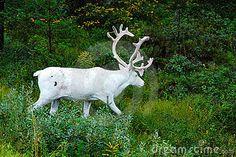white reindeer