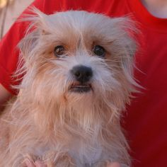 Maxine's eyes show her worry.  She doesn't yet realize that she is safe and she doesn't understand where she fits in this chaotic world.  Maxine was found abandoned near a dog park with no sign of responsible ownership.  She is a lovely young girl, a cream & white Toy & Terrier mix, 1 year of age, now spayed and debuting for adoption today at Nevada SPCA (www.nevadaspca.org).  A big brother or sister dog can help her adjust and figure out her purpose in life.
