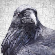 MOUNTAIN RAVEN - Fine Art Print, Raven Portrait – June Hunter Images
