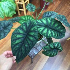 "Alocasia ""Dragon Scale"""