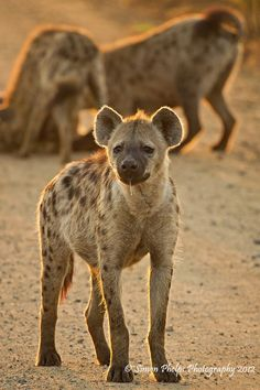 Hyena, in Kruger National Park, South Africa