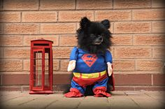 """I'm here to rescue you! Don't say """"aw"""", I'm serious! He Makes Me Smile, Make Me Smile, Dog Costumes, Adoption, Batman, Superhero, Dogs, Animals, Foster Care Adoption"""