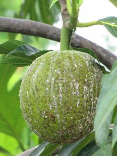 The breadfruit is a Tropical Fruit that is used as a vegetable. It must be cooked to be eaten. It is used like a potato or yam, and can be prepared in various ways. For more on Healthy Carbohydrate foods. http://princessshimari.com/good-carbs/