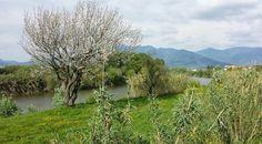 Veduta dell'Arno, albero in fioritura.