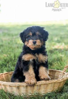 #PoodleMix #Charming #PinterestPuppies #PuppiesOfPinterest #Puppy #Puppies #Pups #Pup #Funloving #Sweet #PuppyLove #Cute #Cuddly #Adorable #ForTheLoveOfADog #MansBestFriend #Animals #Dog #Pet #Pets #ChildrenFriendly #PuppyandChildren #ChildandPuppy #LancasterPuppies www.LancasterPuppies.com Poodle Mix Puppies, Cute Puppies, Lancaster Puppies, Animals Dog, Puppy Eyes, Terrier Mix, Yorkshire Terrier, Puppies For Sale, Mans Best Friend