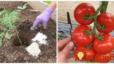 Keď idem sadiť priesady do záhrady, dám do jamky aj 1 lyžicu tohto elixíru: Dvojnásobne viac rajčín a oveľa lepšia chuť! Flora, Fruit, Vegetables, Gardening, Lawn And Garden, Plants, Vegetable Recipes, Veggies, Horticulture