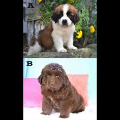 Saint Bernard puppies for sale in Pa, as well as Indiana, New York, Ohio and other states. Get your Saint Bernard Puppies from Lancaster Puppies today! Pet Dogs, Dogs And Puppies, Bernese Mountain, Mountain Dogs, Newfoundland Puppies, St Bernard Puppy, Lancaster Puppies, Teacup Chihuahua, Dogs For Sale