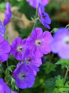 beispiel gartenplanung hydrangea paniculata le vesterival, Garten und erstellen
