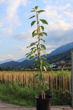 Fruttini® Garden Bing®: Säulenkirsche für kleinste Gärten - Junger Baum