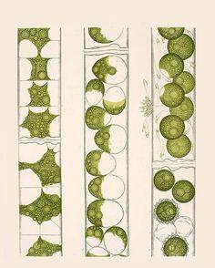 Botanische Wandtafeln – Leopold Kny [1874-1911]