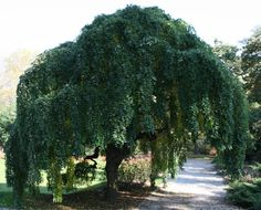 weeping trees | Weeping Japanese Pagoda Tree - Sophora japonica Pendula « Chew Valley ...
