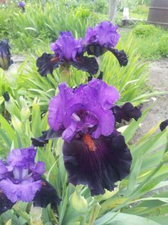 A Walk in the Garden - Beautiful irises and other flowers shared from the Garden Obsession group on Facebook.  Birmingham Gardening Today