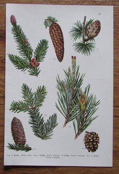 Botanischer Druck - Pflanzen Botanik Druck Atlas des Pflanzenreichs ca. 1920 17 Cactus Plants, Ebay, Botany, Art Print, Printing, Plants, Cacti, Cactus