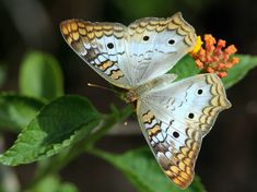 White Peacock Butterfly - Anartia jatrophae