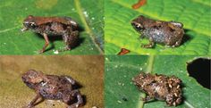 Frogs Paedophryne dekot at left and Paedophryne verrucosa at right