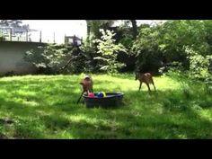 Maned wolves enrichment at the Little Rock Zoo. Enrichment idea.
