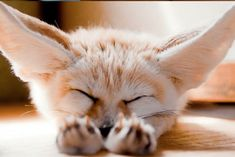 Adorable Photos of The Fennec Fox Will Have You Smiling All Day