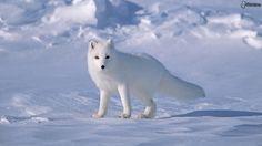 zorro polar wallpapers - Buscar con Google
