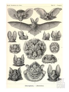 Bats by Ernst Haeckel. Premium Poster from Art.com, $21.99
