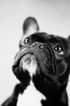 handsome Frenchie in black and white!